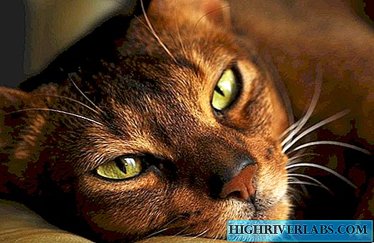 Abyssinian cat breed - house content