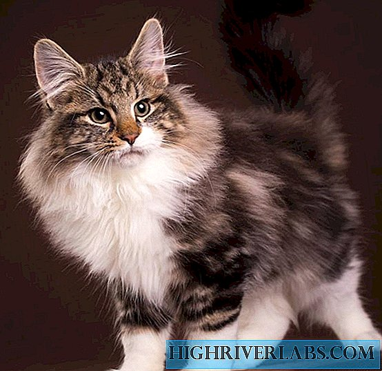Child of the North - Norwegian Forest Cat