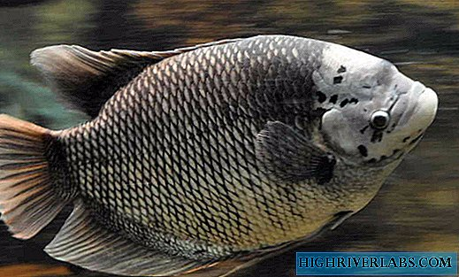 A giant or real gourami is no joke to you ...