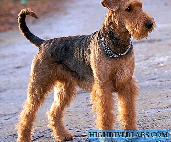 Terrier King - Airedale