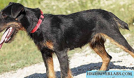 Reed Terrier allemand