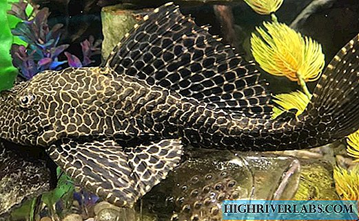 Brocade catfish - simple, but large catfish pterigoplichitis