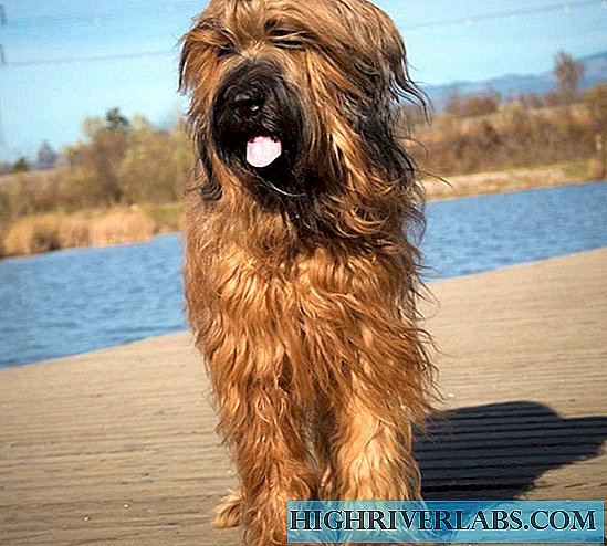 Dog breed French Briard