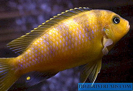 Pseudotrophaeus Lombardo - a typical African cichlid