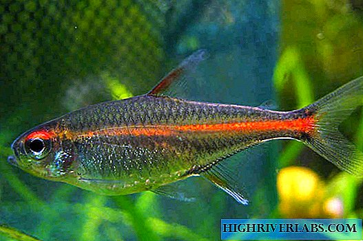 Erythrosonus fish - flaming tetra