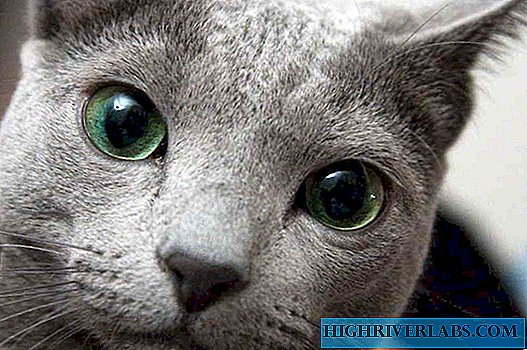 Russian blue cat - living silver