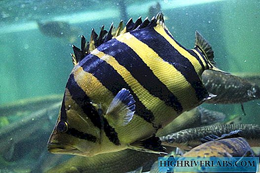 Siamese tiger perch - a reference predator