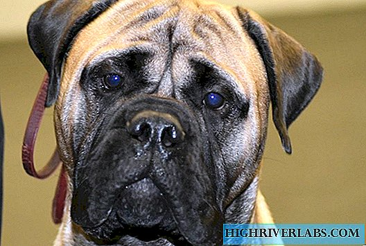 Huntsman dog - bullmastiff