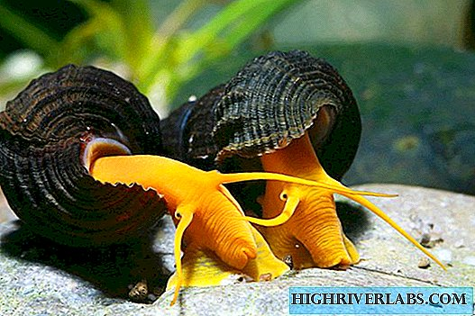 A guest house snail from the island of Sulawesi