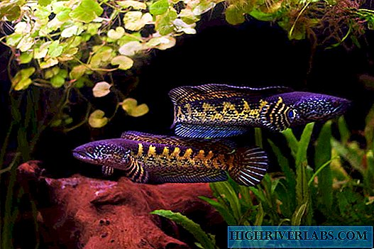 Snakeheads - snake-like fish