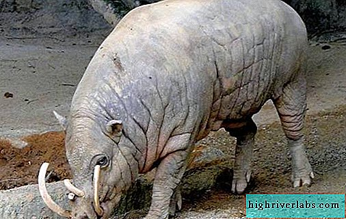 Babirussa is a wild pig. Description, features, species, lifestyle and habitat of babirusa