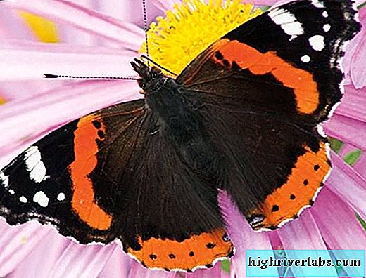 Butterfly Admiral. Description, features, species and habitat of the admiral butterfly