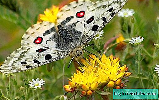 Butterfly Apollo insect. Description, features, species and habitat