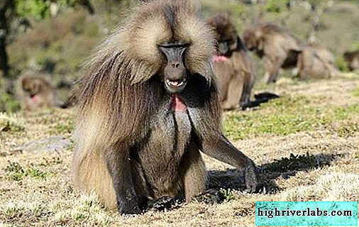 Baboon monkey. Description, features, lifestyle and habitat of the baboon
