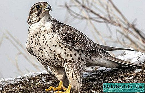 Saker Falcon bird. Description, features, species, lifestyle and habitat of the saker