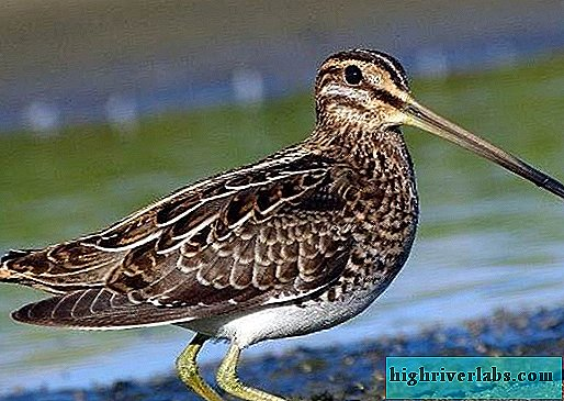 Snipe bird. Description, features, lifestyle and habitat of snipe