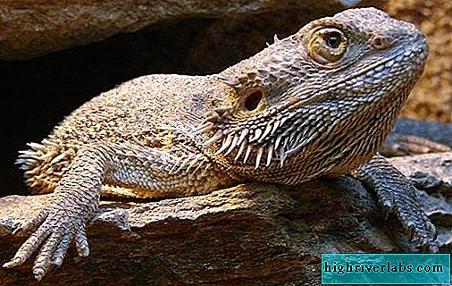 Bearded agama lizard. Description, features, lifestyle and habitat of the agama