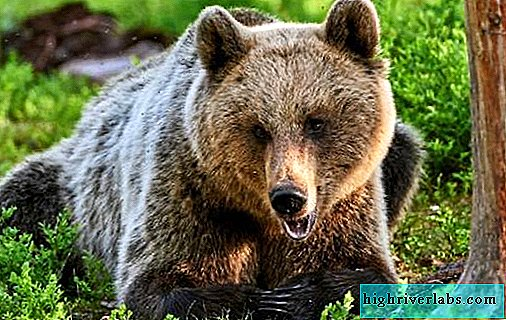 Brown bear animal. Description, features, lifestyle and habitat of the brown bear