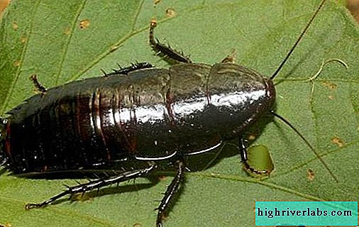 Black cockroach insect. Description, features, species, lifestyle and habitat of the cockroach