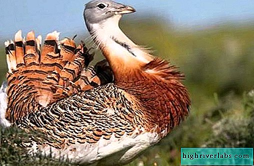 Bustard bird. Description, features, species, lifestyle and habitat of bustards