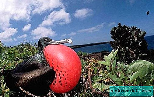 Frigate bird. Description, features, species, lifestyle and habitat of frigates