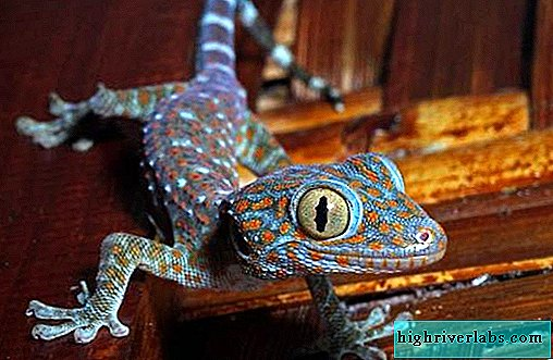 Gecko animal. Description, features, species, lifestyle and habitat of gecko