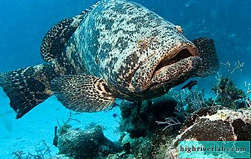 Grouper fish. Description, features and habitat of grouper fish