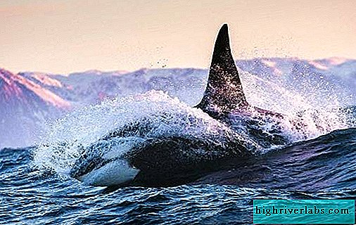 Killer whale. Description, features, species, lifestyle and habitat of killer whale