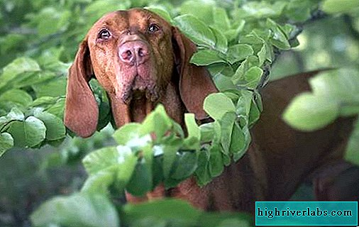 Catalburun dog. Description, features, types, nature, care and price of catalburun breed