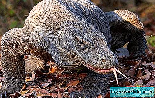 Komodo monitor lizard animal. Description, features, lifestyle and habitat of the monitor lizard