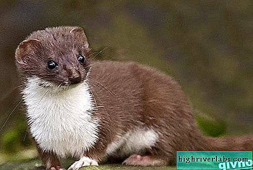 Weasel animal. Weasel lifestyle and habitat