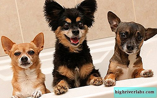 Small breeds of dogs. Description, names, types and photos of small breeds of dogs