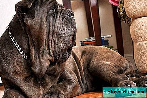 Neapolitan mastiff dog. Description, features, care and price of the breed