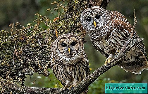 Owl bird. Description, features, species, lifestyle and habitat of the owl