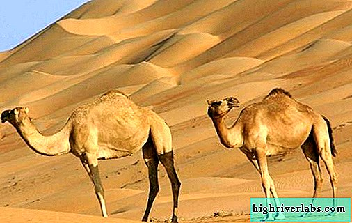 One-humped camel. Description, features, lifestyle and habitat of the animal