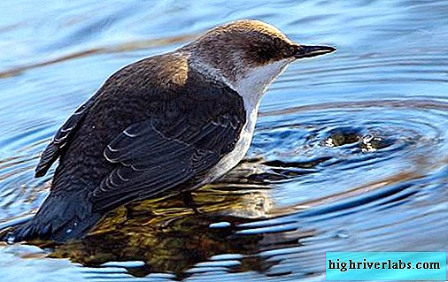 Dipper bird. Description, features, species, lifestyle and habitat of the dipper