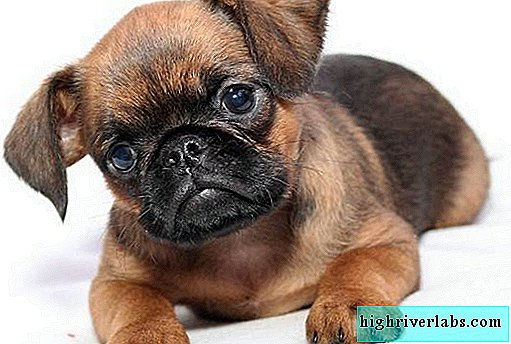 Petit Brabancon Dog. Description, features, types, care and price of the breed