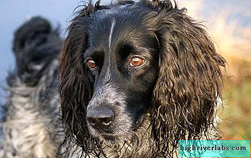 Russian hunting spaniel dog. Description, features, types, care and price of the breed