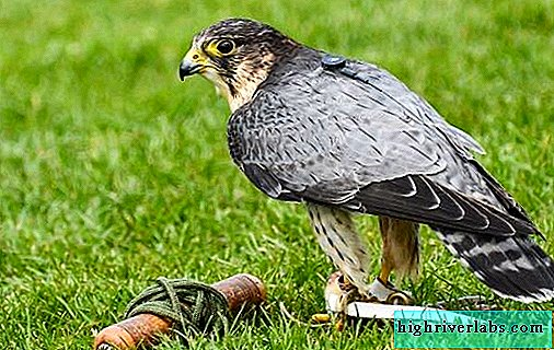 Peregrine Falcon Description, features, species, lifestyle and habitat of the peregrine falcon
