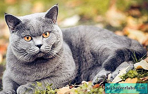 Chartreuse cat. Description, features, nature, care and price of Chartreuse breed