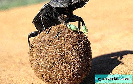 Scarab beetle insect. Description, features, lifestyle and habitat of the scarab