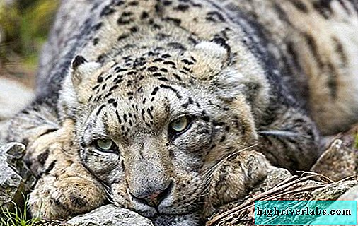 Snow Leopard. Snow leopard habitat and lifestyle