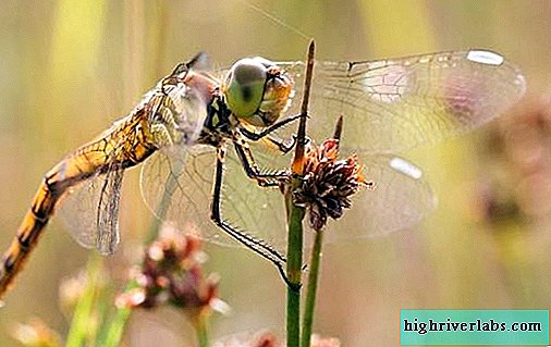 Dragonfly insect. Description, features, species, lifestyle and habitat of dragonflies
