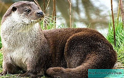 Otter animal. Description, features, species, lifestyle and habitat of the otter