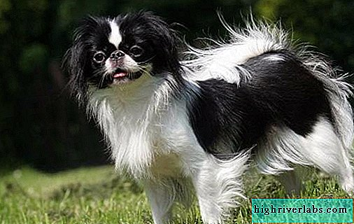 Japanese chin dog. Description, features, types, care and price of the breed