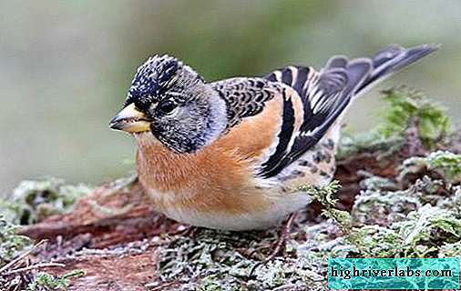 Yurok bird. Description, features, species, lifestyle and habitat of the yurka