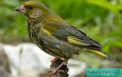 Greenfinch bird. Description, features, species, lifestyle and habitat of greenfinch