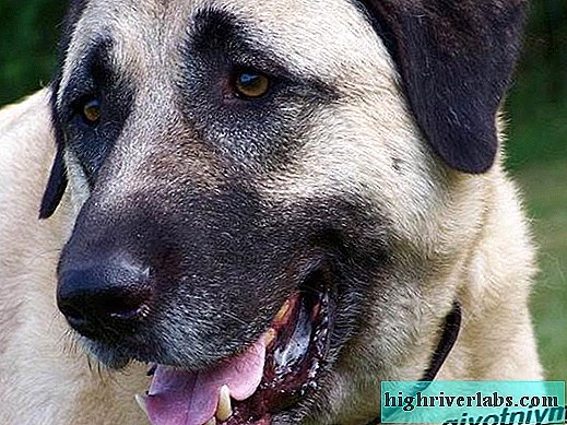 Anatolian Shepherd Dog. Description, features, care and price of Anatolian shepherd