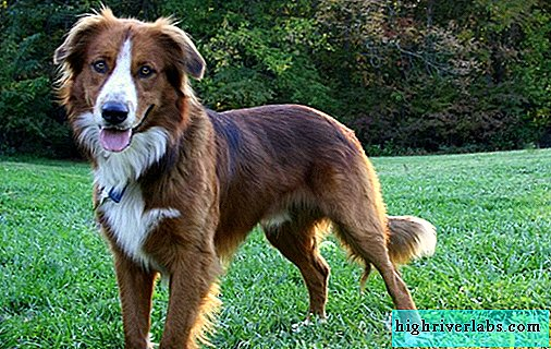 English shepherd dog. Description, features, history, nature, care and price of the breed