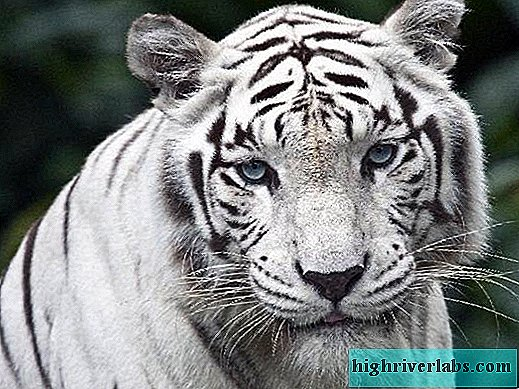 White tiger White tiger lifestyle and habitat